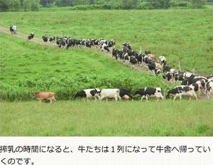搾乳の時間になると、牛たちは1列になって牛舎へ帰っていくのです。