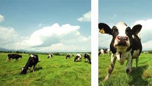 ストレスフリーですくすく育つ牛たち。