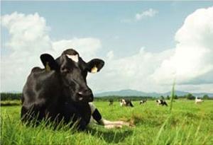 いい草を食べている牛の生乳は、味が違う