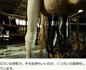 ただいま搾乳中。牛も気持ちいいのか、くつろいだ表情をしています。