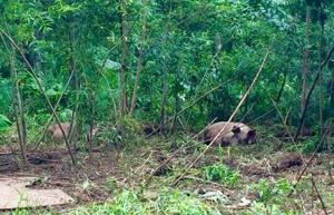 豚が開拓しはじめた山林