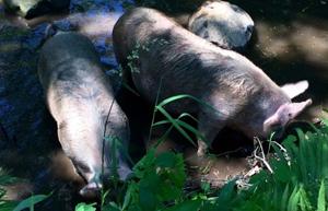 豚の放牧敷地内にある小川で水浴び