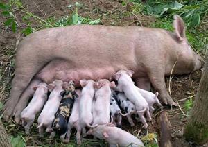 3頭の母豚が出産