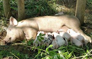 おっぱいを飲む赤ちゃん豚