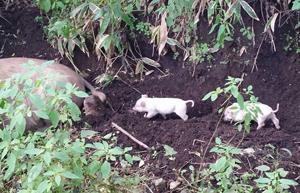 親子の列。生後4日目ころから母豚にくっついて活発に動きます。