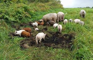 牛のエサとなる牧草を育てている牧草の豚。キクイモやタンポポの茎が大好き
