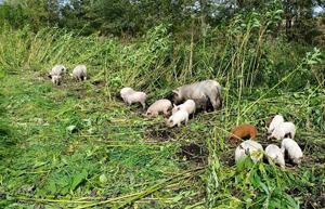 キンモクセイを掘り起こして食べる豚たち