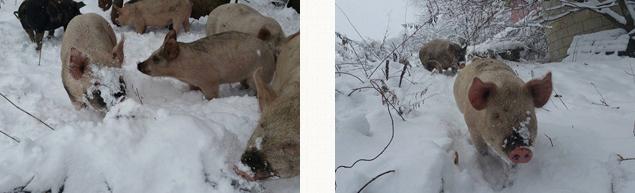 土を掘り起こす習性があるため、降雪時にも顔が雪まみれ