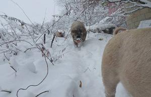 雪の中を行進する豚