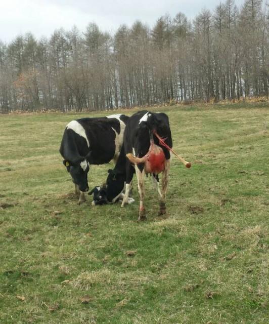 牛の自然分娩4