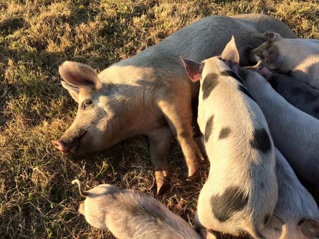 151103秋の豚@牧草畑