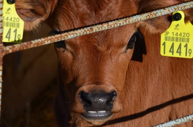 151202ちょっとでっ歯のジャージー牛