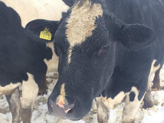 151202牛くるくる冬毛